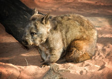 Wombat!. Autralian Wombat sitting against a dusty red rock and sand background Royalty Free Stock Image