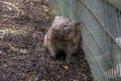 wombat Obrazy Stock