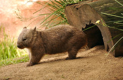 Wombat. A wombat standing in front of his hole Royalty Free Stock Photos