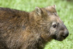 Wombat. A close up of a Wombat, an Australian marsupial Royalty Free Stock Photos
