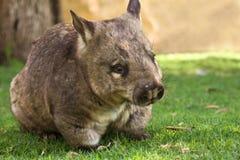 Wombat Imagens de Stock