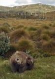 Wombat Royalty-vrije Stock Foto's