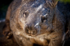 Wombat. Australian Wombat looking directly into the camera Royalty Free Stock Image