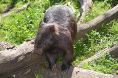 Wombat Foto de Stock Royalty Free