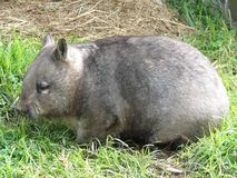 Wombat. This is a side view of a hairy nosed wombat Stock Images