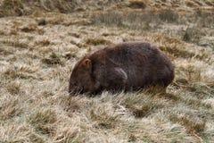 Wombat Stock Foto's
