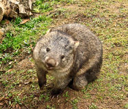 Wombat. On grass, tasmania, australia Stock Image