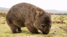Wombat fotos de stock royalty free