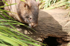 Wombat. (Vombatus ursinus) in Tasmania. Australia Royalty Free Stock Photo