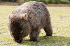 Wombat. Close up of wombat in Narawntapu national park, Australia royalty free stock photos