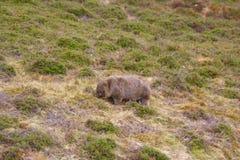 wombat Stockbilder