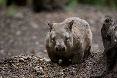 Wombat. A Native Australian Hairy Nosed Wombat Royalty Free Stock Images