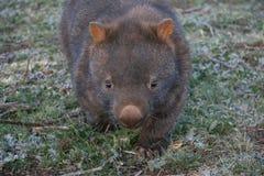 wombat Royaltyfri Foto