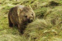wombat Fotografia Stock