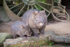 wombat Fotografia Stock Libera da Diritti