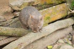 wombat Fotos de archivo