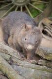 wombat Fotografia de Stock Royalty Free