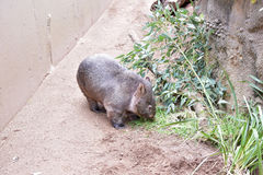 wombat Imagen de archivo
