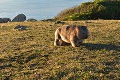 Wombat Zdjęcie Stock