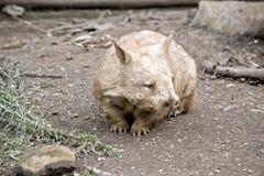 wombat Zdjęcia Royalty Free