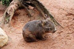 Wombat Royalty Free Stock Photos