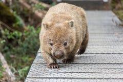 Wombat auf Spur im Wiegen-Berg lizenzfreie stockfotos
