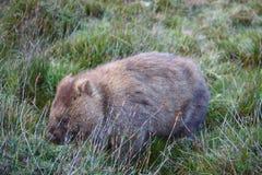 Wombat Stock Image