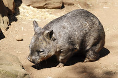Wombat of Australia in captivity Royalty Free Stock Photography