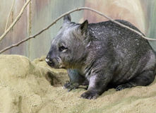 Wombat. Australian Wombat Close Up Detail Royalty Free Stock Photo