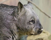 Wombat. Australian Wombat Close Up Head Detail Stock Photo
