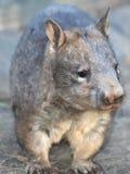 Wombat, australian common, queensland, australia stock image