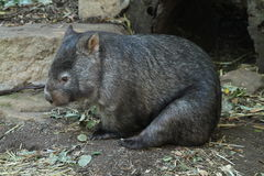 Wombat. Australian wombat cuddled up against the cold Stock Photo