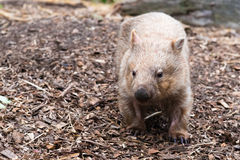 Wombat, Australian native animal. Close-up on an wombat, Australian native animal Stock Photos