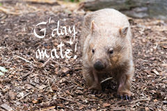 Wombat, Australian native animal with G'Day Mate greeting Royalty Free Stock Image