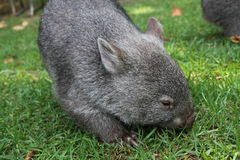 Wombat. Australian native wombat grazing on the grass Stock Images