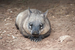Wombat australiano nativo Imagen de archivo libre de regalías