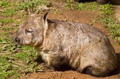 Wombat australien photo libre de droits