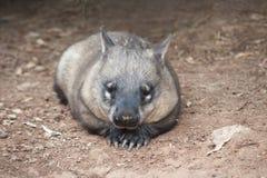 Wombat australien indigène Image libre de droits