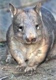 Wombat, australijski błonie, Queensland, Australia Fotografia Royalty Free