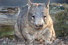 Wombat, australijski błonie, Queensland, Australia Obrazy Stock