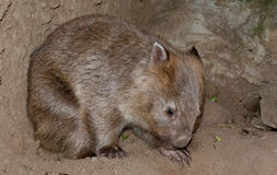 A wombat bear from Australia close up portrait Stock Photo