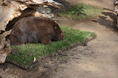 Wombat Stock Photography