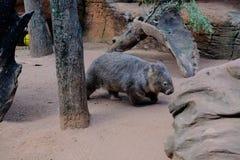 Wombat bij het Wild Sydney Zoo royalty-vrije stock foto's