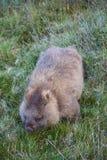 Wombat Royalty Free Stock Image