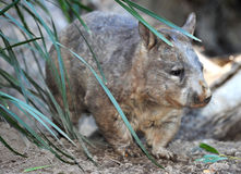 Wombat, campo común del australiano, Queensland, Australia Imagenes de archivo
