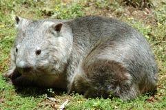 Wombat cappottato peloso del sud Fotografie Stock