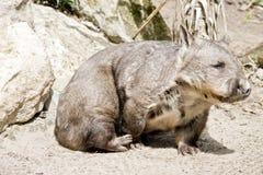 Wombat cheirado peludo fotos de stock royalty free