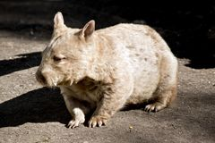 Wombat. This is a close up of a wombat stock image