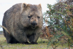 Wombat close-up Royalty Free Stock Images