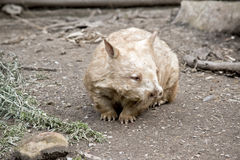 Wombat. This is a close up of a wombat Royalty Free Stock Photos